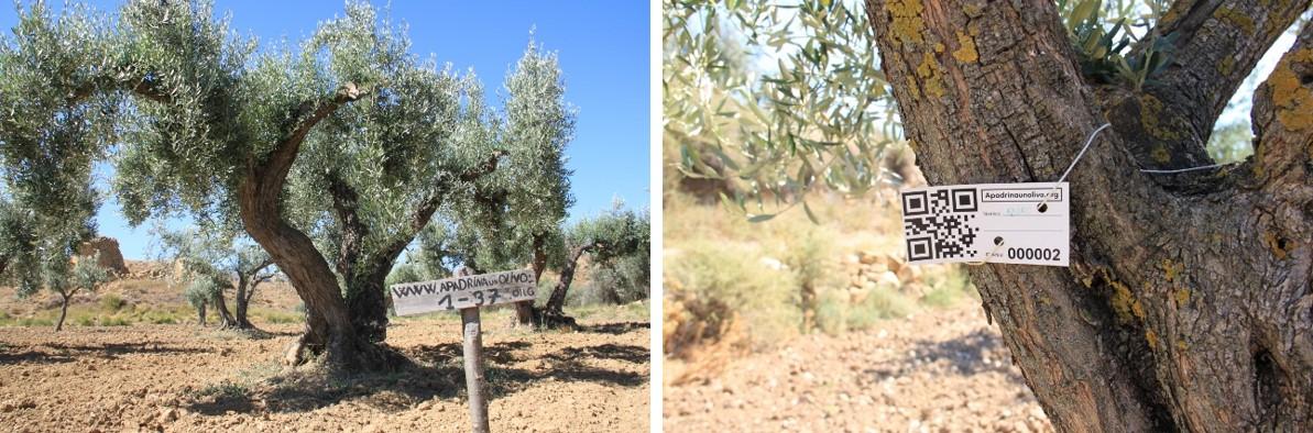 Olivos de Apadrina un olivo